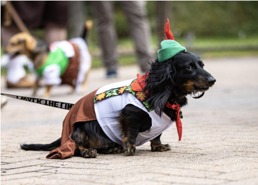 Dachshund dressed in traditional German outfit